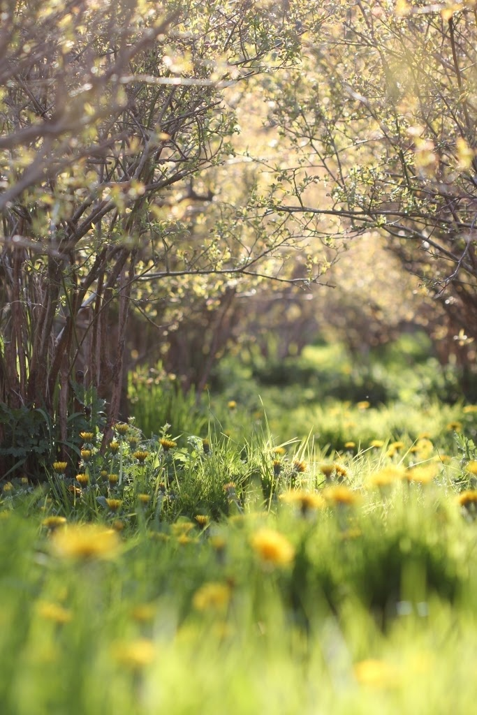 A Day in the Country...our garden is a wave of yellow - but the bees are coming this weekend, so it's perfect.  I love the sea of yellow.