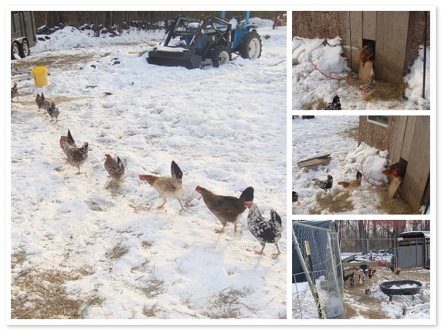 Chicken Train Icelandic Chickens Chickens Pinterest