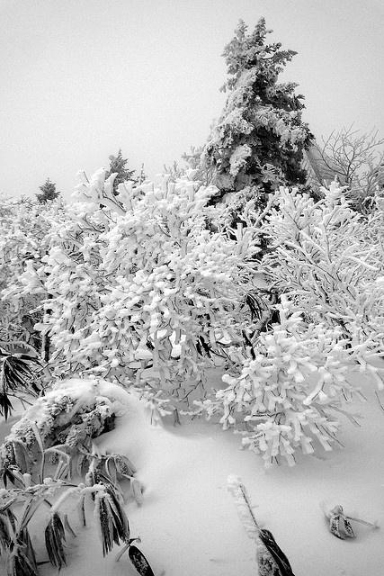 The rime on trees, Mount Zao, Yamagata