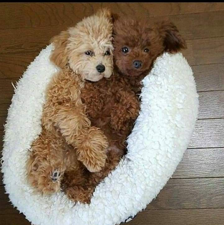 Curly Haired Puppies Cuddling Nothing Cuter Every Existed Cute Baby Animals Cute Animals Baby Animals