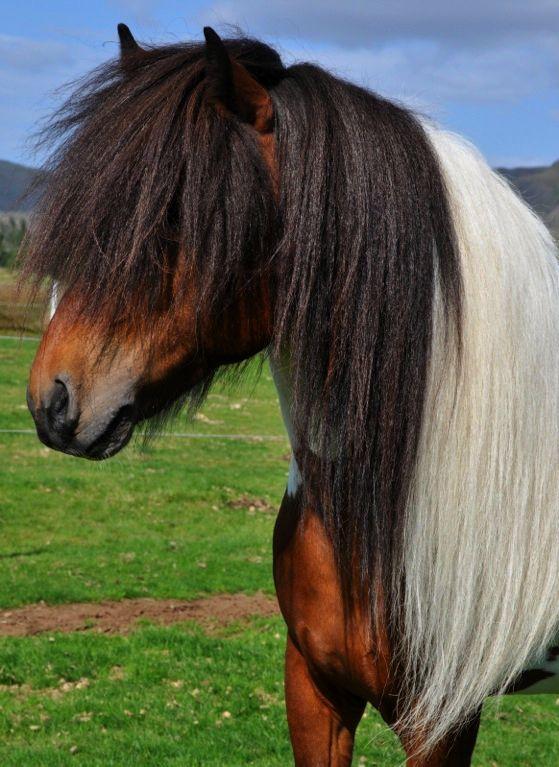 Icelandic Horse stallion Djarfur frá Reykjavík | Horses ...