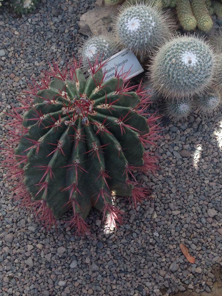 Kaktus med røde pigger