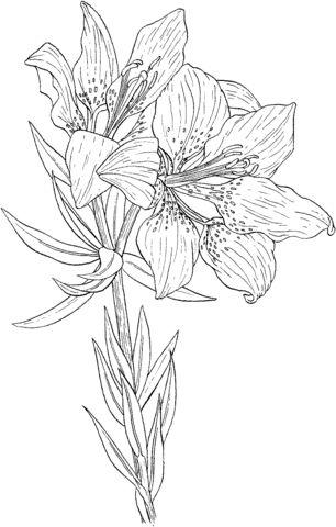 Lilium Philadelphicum o Lirio Salvaje Rojo Naranja Dibujo para colorear