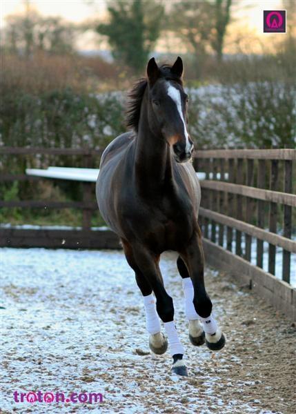 Eperlan du Fouquet-a show jumping legend. | Trot ON Hot Topics