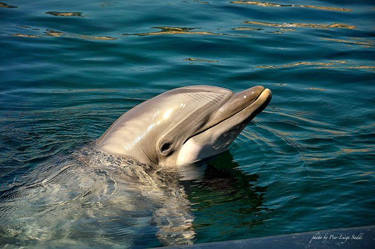 Photo dauphin par Pier Luigi Saddi sur 500px