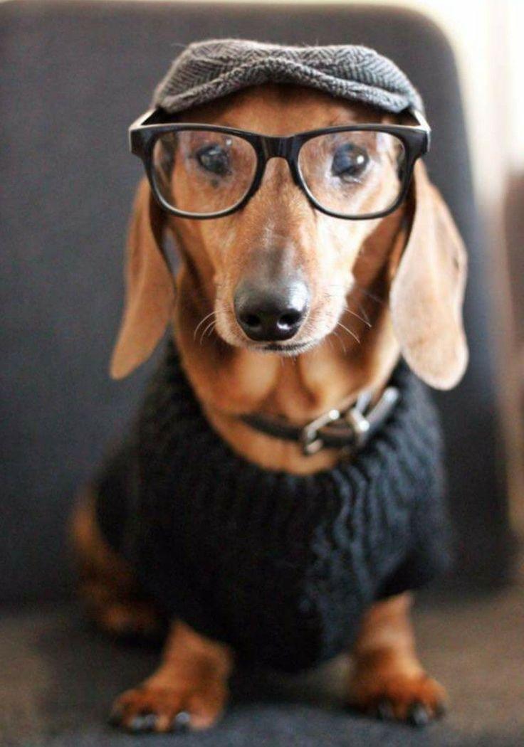 смешные картинки собак такс его снимках былое