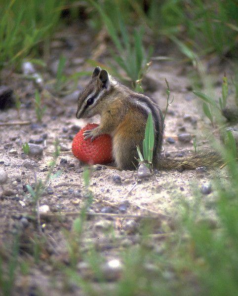 A chipmunk eating a strawberry