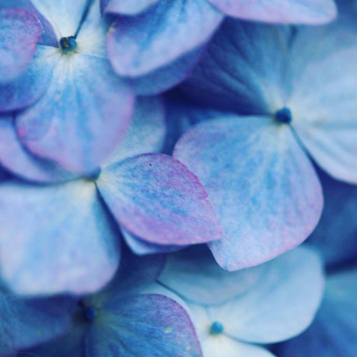 Hortensia in beautyful blue tones