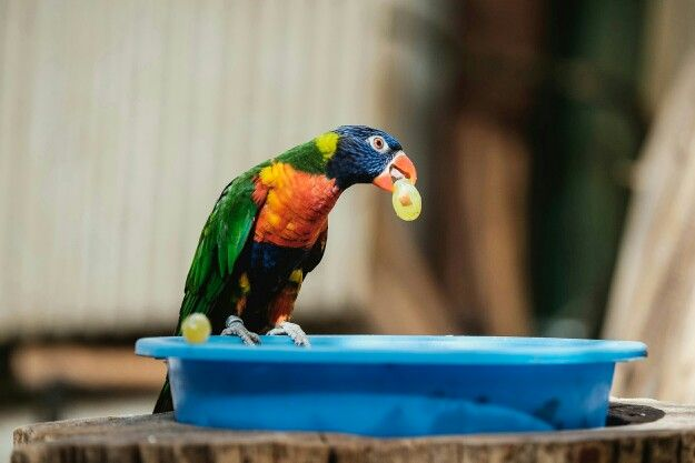 a grape a day... #parrot  (c) Andi Weiland | www.andiweiland.de