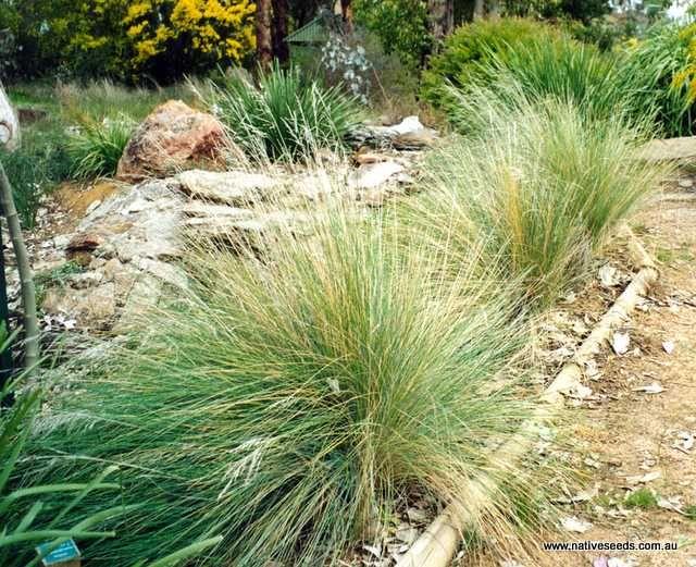 Tussock grass - Poa labillardieri