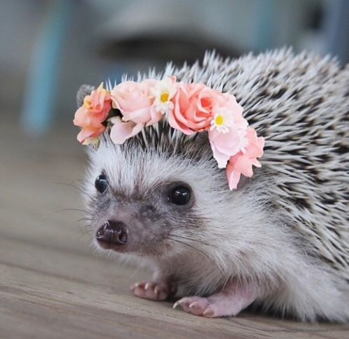 "thunderpeaches: "" Baby hedgehog with a flower wreath. Yea. """