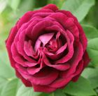 Headily scented, rich red roses