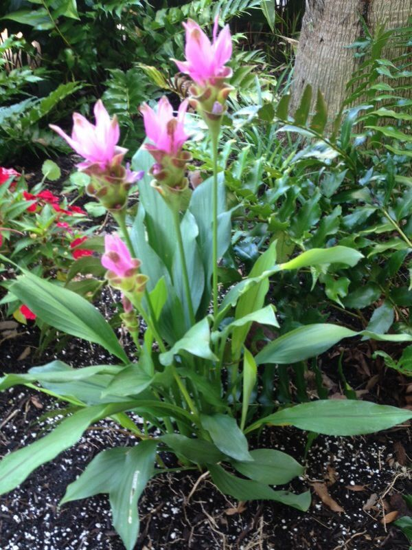 Pink Siam Tulip Curcuma Alismatifolia This Plant Appears To Be Curcuma A Tropical Plant In The Ginger Family That Has Plants Ginger Plant Tropical Plants