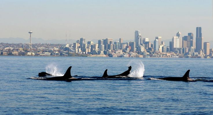Orcas from the J and K pods swim past a small research boat on Puget Sound