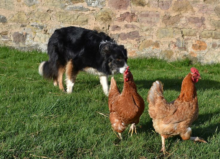 Hen Herder, rural photography, Scotland.
