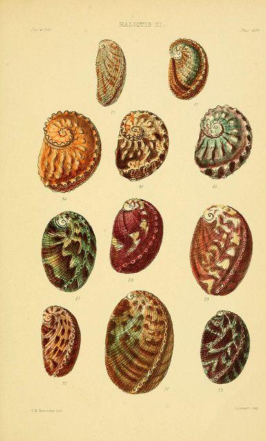 Thesaurus conchyliorum, Sowerby 1847-1887. Biodiv Library #shells #scientific #illustration