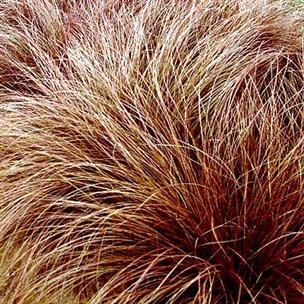 279 best Carex images on Pinterest | Ornamental grasses, Variables ...