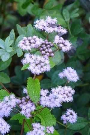 Mistflower (Eupatorium coelestinum)