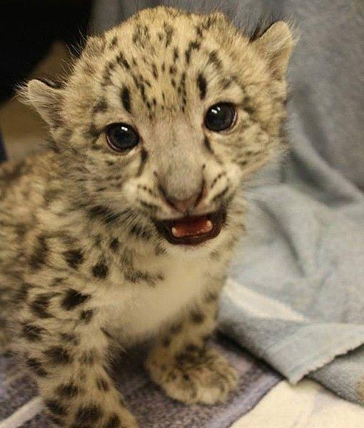 A beautiful, endangered snow leopard cub named Niko has ...