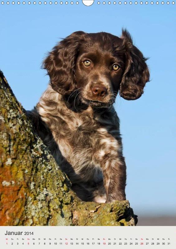 Deutscher Wachtelhund Hundewelpen - #Kalender #Hunde #Welpen CALVENDO Calendar #Puppies, #dogs photographed by Katho Menden