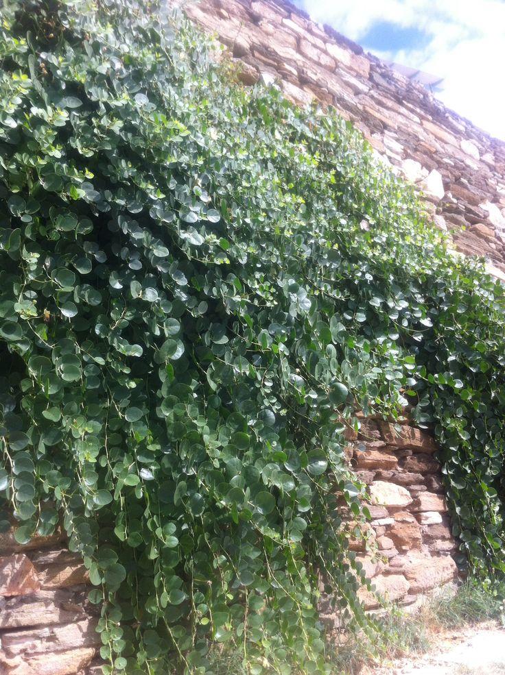 Kappari on the wall