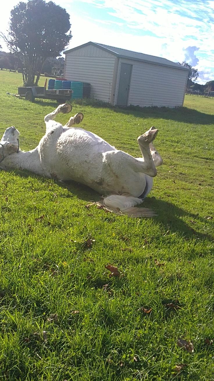 Suzie rolling after a bath