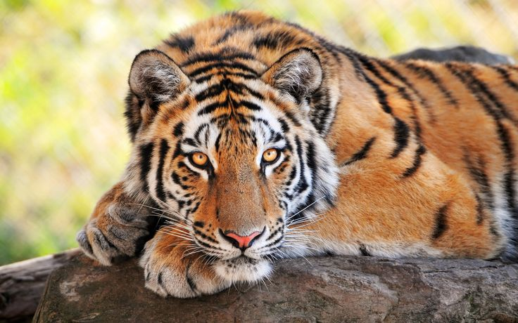 Tigers animals cats color face eyes stare look stripes patterns wildlife predator wallpaper | 1920x1200 | 25852 | WallpaperUP
