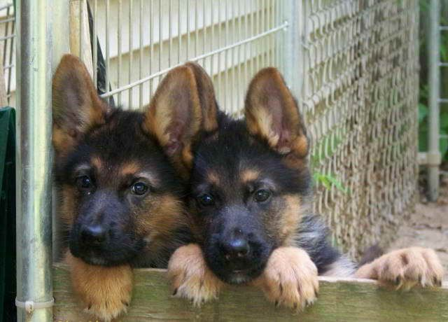 German Shepherd Puppies For Sale In Rochester Ny German Shepherd Puppies Shepherd Puppies Puppies For Sale