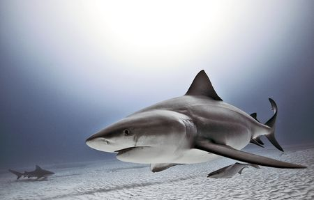 Bull Shark one of the only fish that can live in both fresh and salt water, known to swim up rivers, seen as far north as MI