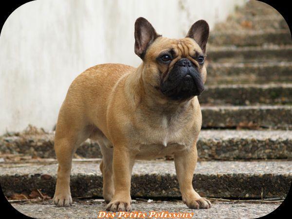 franse bulldog