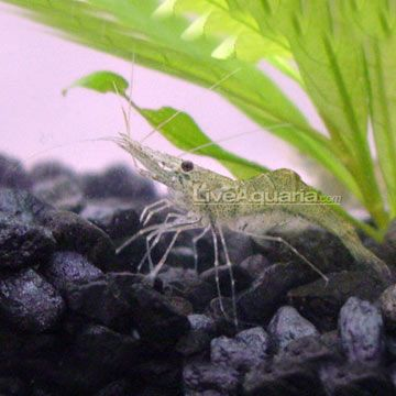 """Ghost (Glass) Shrimp Minimum Tank Size: 10 gallons Care Level: Easy Temperament: Peaceful Water Conditions: 68-85° F, KH 3-10, pH 6.5-8.0 Max. Size: 2"""" Color Form: Clear, Orange, Yellow Diet: Omnivore Family: Palaeomonidae"""