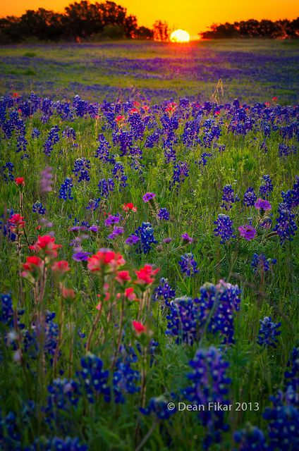 Dawn breaks over a field of bluebonnets and Indian paintbrushes in Ennis, Texas