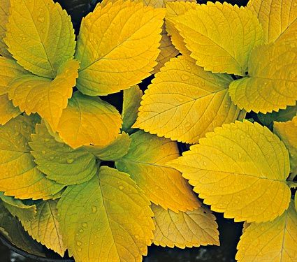 Hydrangea, Macrophylla, Lemon Daddy. Superb combination of foliage and flowers. The huge 12in pink or blue flower heads are enhanced by yellow foliage that thrives in heat and humidity, although plants appreciate a little afternoon shade in hot climates and water during dry spells. 4' x 4'
