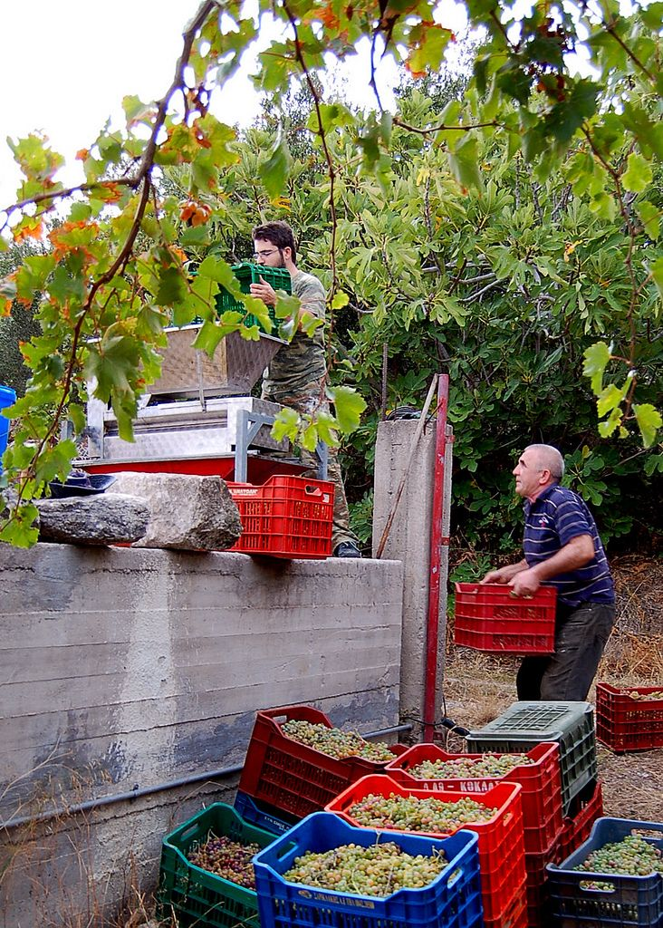 #Wine Harvest on the Greek island of #Crete This is a scene from a Cretan grape harvest at a small vineyard between the villages of #Kalives and #Armeni. Family and friends come together to pick and squeeze the vine-ripened fruit for table wine.  Wine-making has a long history in Crete that goes back almost 4000 years. Wine was produced by the Minoans on this Mediterranean island before 1600 BC.