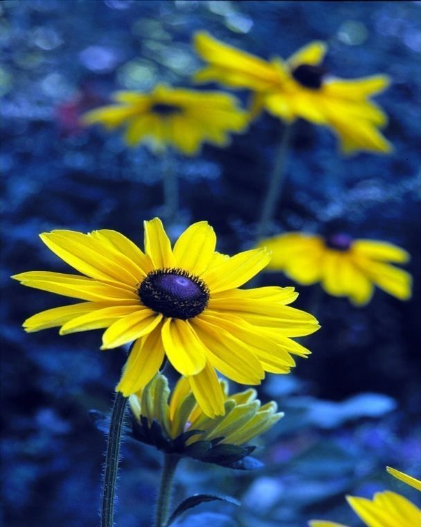 Photo Yellow And Blue Flowers Daisies