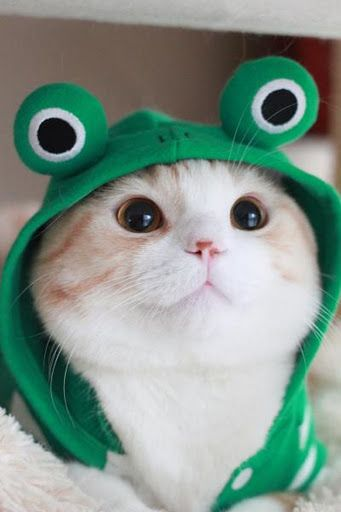 Ryoma, Japan's other most adorable Scottish Fold