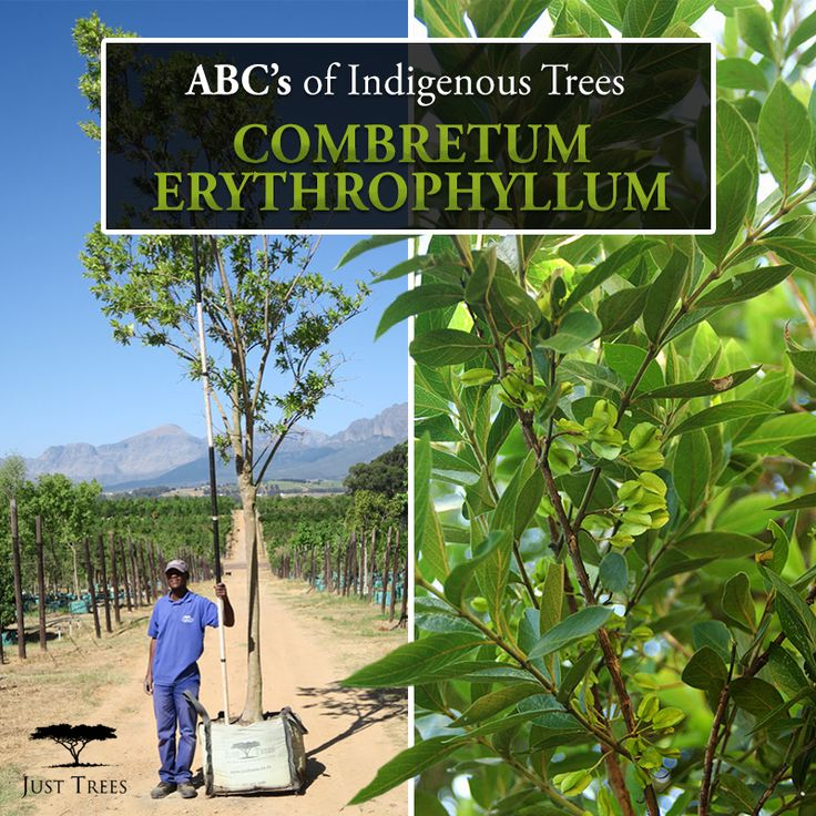 Introducing the Combretum erythrophyllum or River bushwillow... This fast-growing, large deciduous tree is popular as a shade tree and is one of the more responsive and adaptable of the bushwillow species!