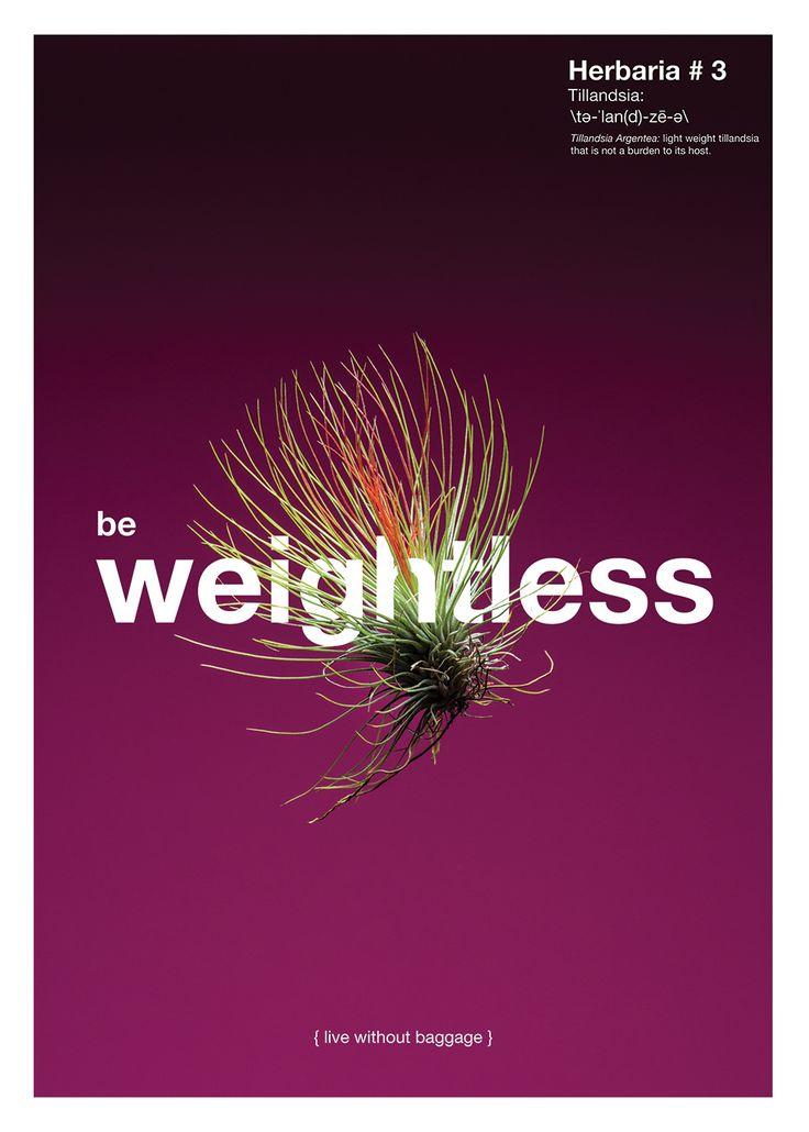 LECCIÓN No. 3 / SE INGRÁVIDO {vive ligero de equipaje} Planta: Tillandsia Argentea. Con su bajo peso evita ser una carga para su huésped.
