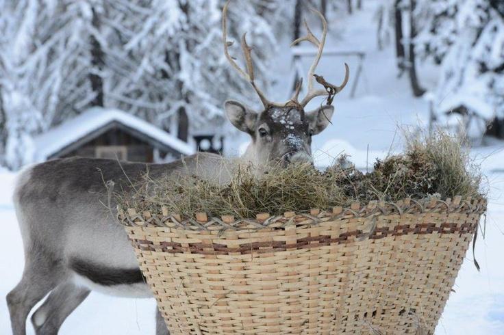 Reindeers in Alta Pusteria