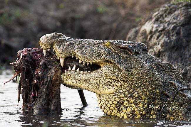 African Nile Crocodile (Crocodylus niloticus)