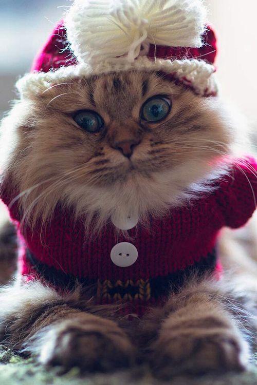 Too cute for words! Santa Cat!
