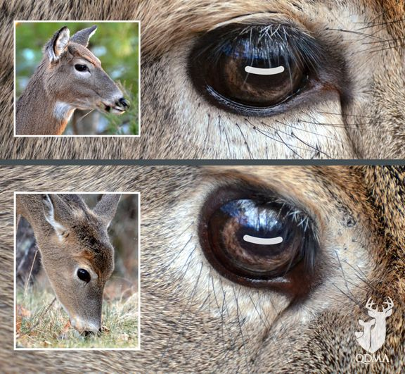Deer Can See You Even When They're Eating | Quality Deer Management Association