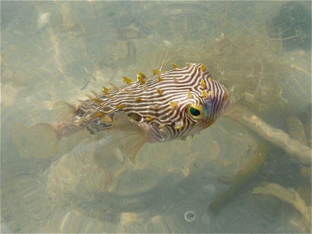 Puffer Fish  Sanibel island