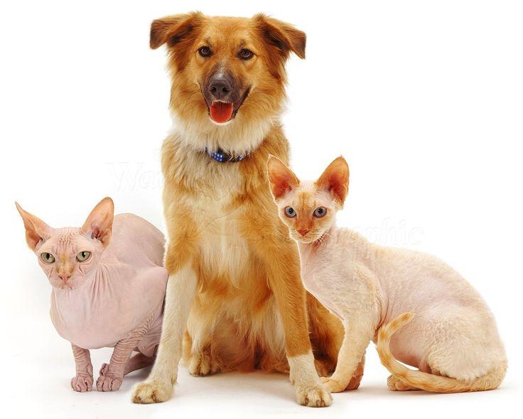 """S-a stabilit că 48% dintre românii din mediul urban, cu acces la internet, dețin măcar câte un animal de companie: câini 65% și pisici 52%. În cadrul cercetării, animalul de companie a fost definit drept """"un animal crescut din plăcere, fără a beneficia de alte foloase de pe urma acestuia"""". Definiția e total greșită, fiindcă, vom vedea, toți cei care au în grijă măcar câte un animal de companie au multe beneficii legate de sănătatea lor fizică, psihică și emoțională. Un miliard de lei…"""
