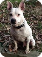 Morehead, KY - French Bulldog/Jack Russell Terrier Mix. Meet Frenchie* (25 lb 3yr) Awesome new video! SPONSORED a Dog for Adoption.