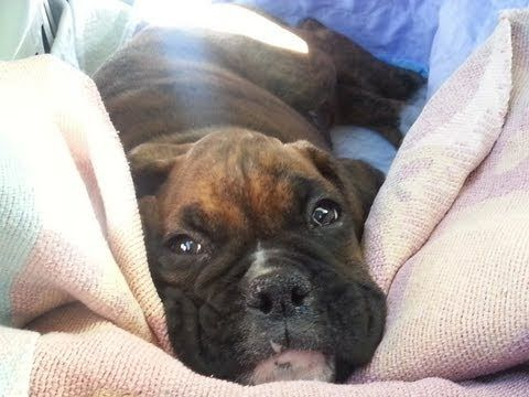 Cutest Boxer puppy meets Boxer dog for the first time! - YouTube