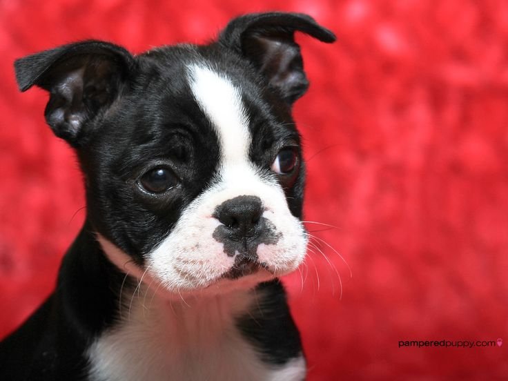 I hope to have an adorable puppy like this one day. Boston terriers are my favs, but really I love pretty much all dogs. But if I get a Boston terrier it will be called pea-tree like land before time :)