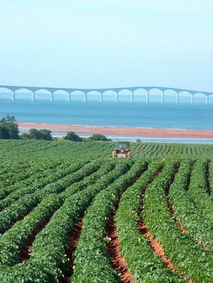 Potato field with the Confederation Bridge in the background.