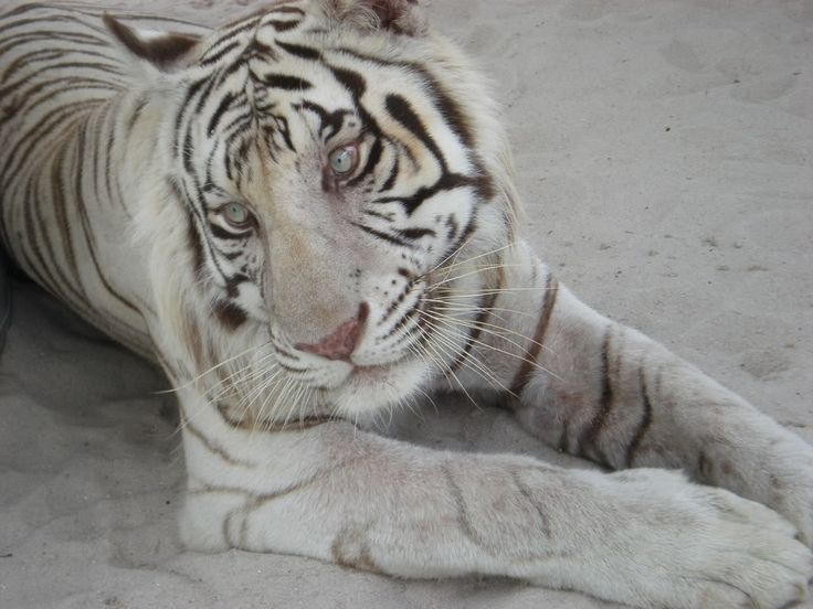 zlatá mramorovaná fotografie mládě Bengálský tygr: Bílý tygr bengálský Tigerpics036.jpg