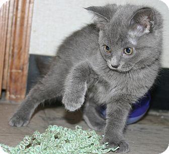 Plainville, MA - Russian Blue. Meet Martini a Kitten for ...